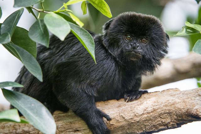 Goeldis marmoset on the branch