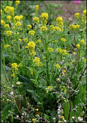 Barbarea vulgaris - barbarée commune 28392215155_4557715b88