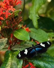 Blue Morph Doris Longwing   Butterfly Garden, Boston Museum Of Science | By  Christopher J ...