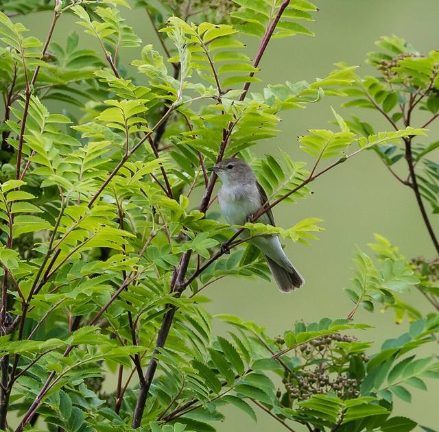 Garden Warbler 045 (3376)