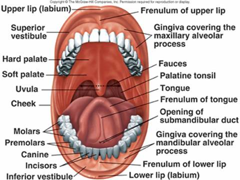 Roof Of Mouth Anatomy | via Anatomy Pictures Gallery ift.tt/… | Flickr