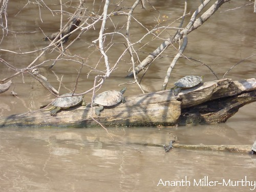 Mississippi Map Turtle and Red-eared Sliders | by Ananth Miller-Murthy