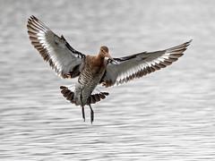 Black - tailed Godwit - Limosa limosa
