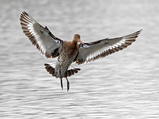 Black - tailed Godwit - Limosa limosa | by normanwest4tography