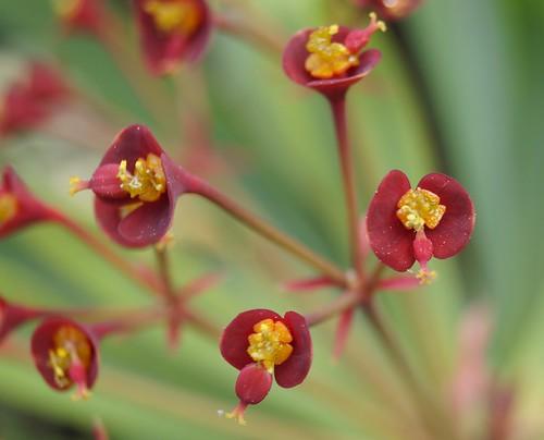 Euphorbia atropurpurea  16892626018_78e80c9b53