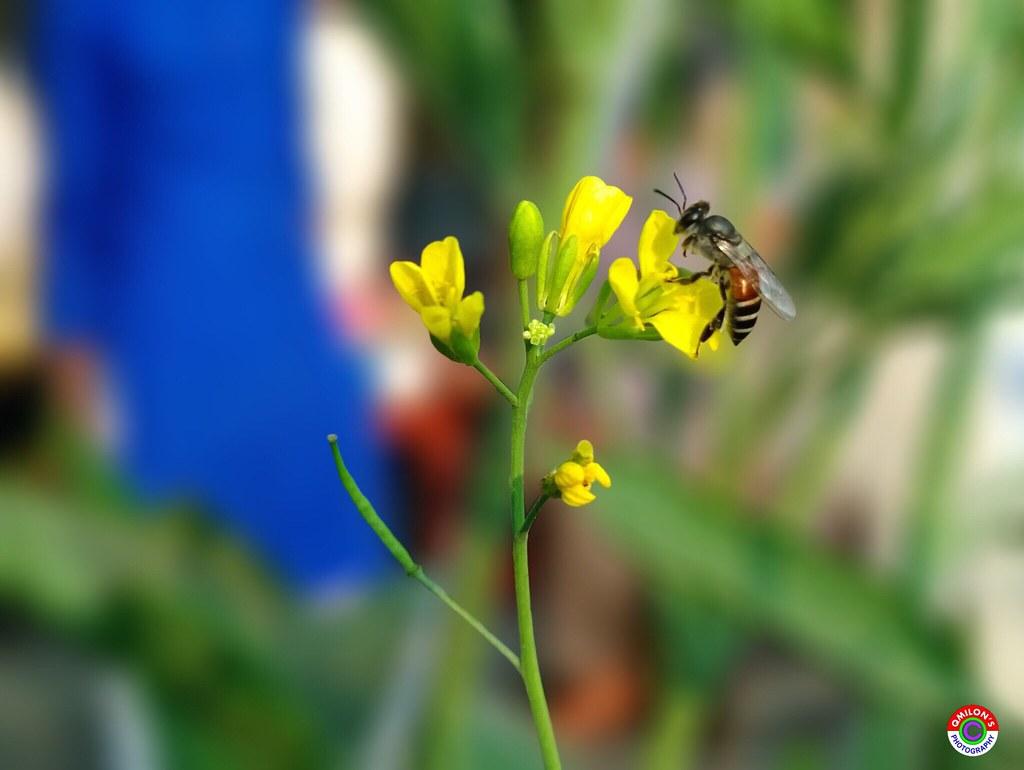 Bee flowersplants garden flowers nature and beauty bee flickr bee flowersplants garden flowers nature and beauty bee flower for the izmirmasajfo