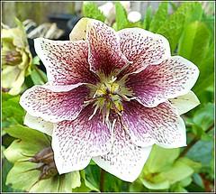 Helleborus orientalis ..