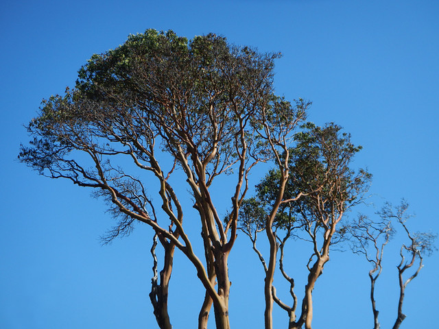 Arbutus Trees Seen On Our Walk Around Victoria's Harbour