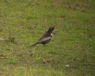 Ring Ouzel | by markhows