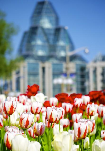 A very special tulip