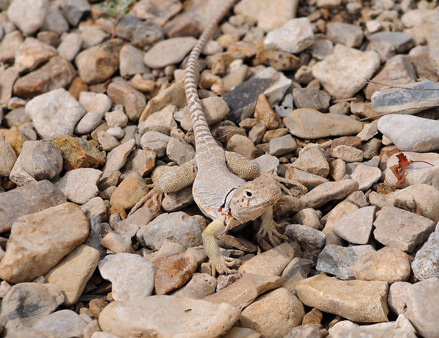 Eastern Collared Lizard #11 de