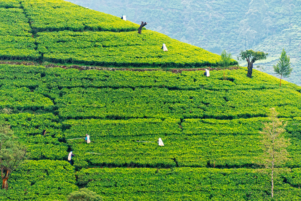 Picking Tea on the Hills of Nuwara Eliya, Sri Lanka