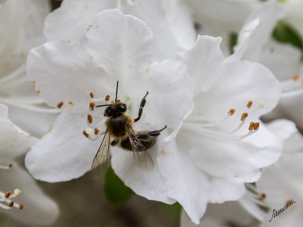 26052016 Fleur Mai 2015 1655 James Av Flickr