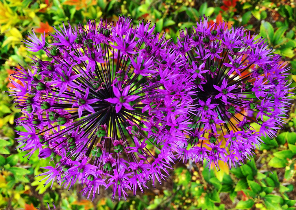 Allium Fireworks Of A Differen Kind View From Above Alli Flickr