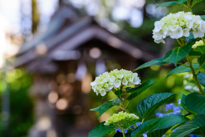 大神山神社 紫陽花 2016.6-18