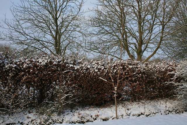 Tendrils: Snowy hedge 2