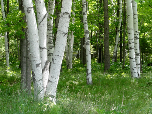 Birches | by Editor B