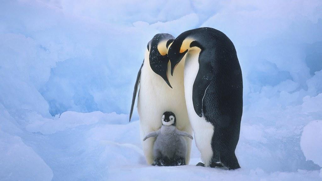 Cute Baby Penguin Wallpaper Free 2015