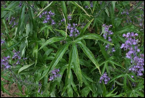 Delphinium requienii (2)