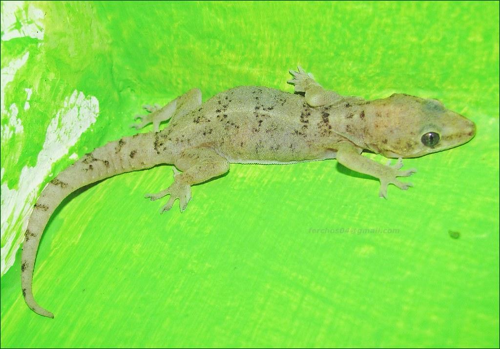 Lagartija salamanquesa Cuija   gecko   Nelson Fernando Sotelo ...