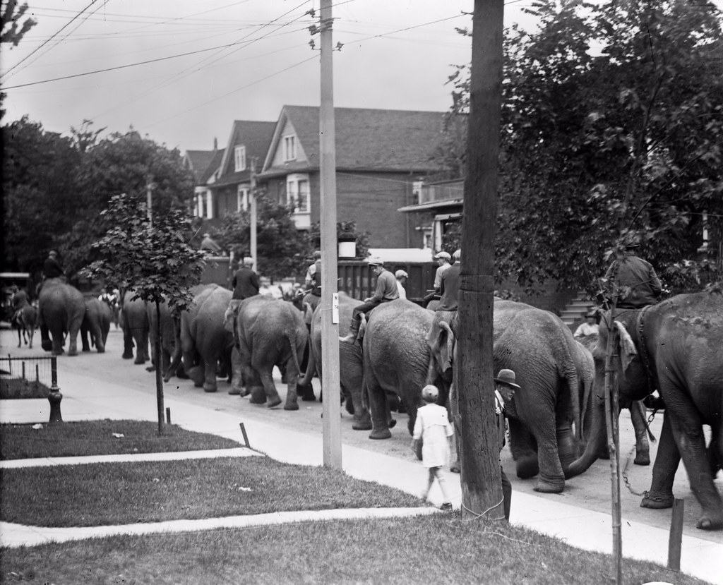 Circus elephants, on way to Dufferin Park Race Track, perhaps on Brock Ave.