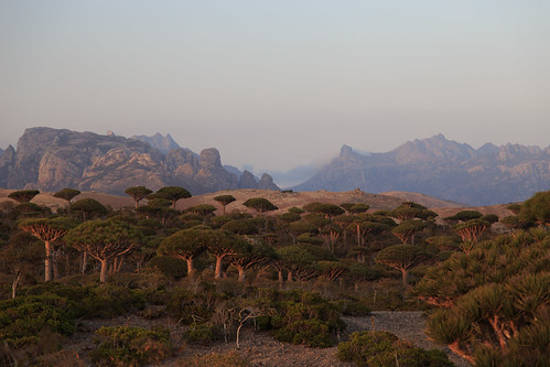 Centennial Dragon blood trees at dawn on Firmhin Plateau, Socotra, Yemen | by valerian.guillot