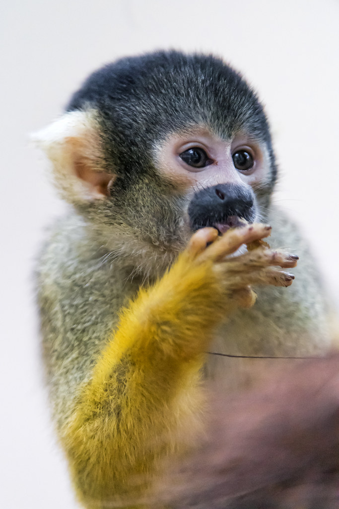 Squirrel monkey eating...
