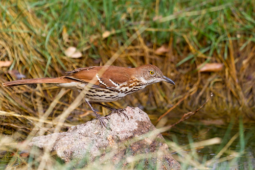 Brown Thrasher (Toxostoma rufum) | by KAlderman65