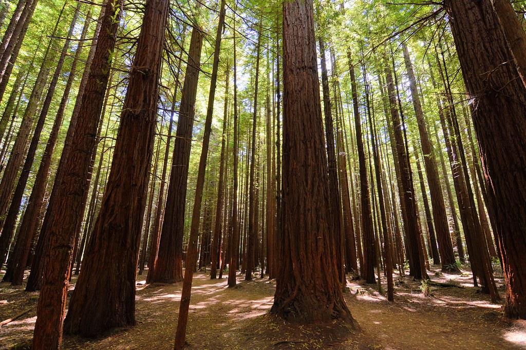 redwood forest rotorua steve watson flickr