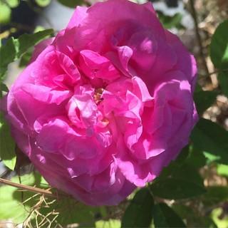 #lareine or #lareinevictoria great scent. #lareinerose #lareinevictoria rose 🌹