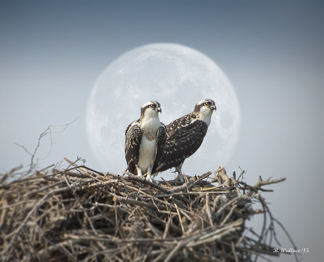Brian_Osprey Pair In Nest 5a LG_2D