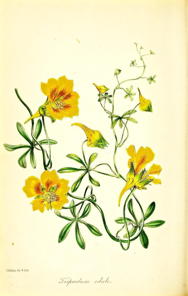 Tropaeolum Leptophyllum As Tropaeolum Edule Perennial Vi Flickr