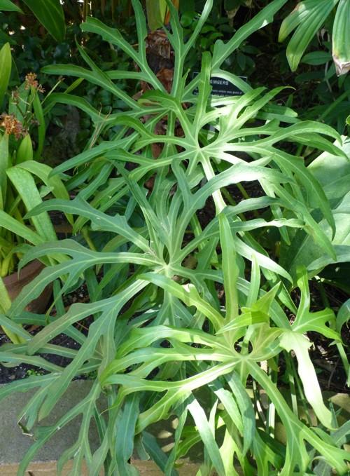 Anthurium podophyllum 28818666000_d22073aa2c_o