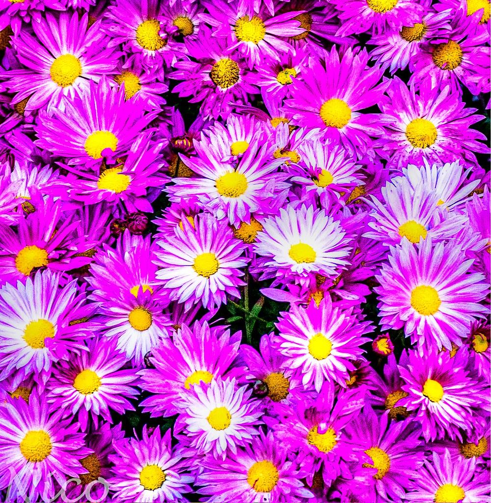 Flowers Beautiful Fall Flowers Dsc7616 Belles Fleurs Da Flickr