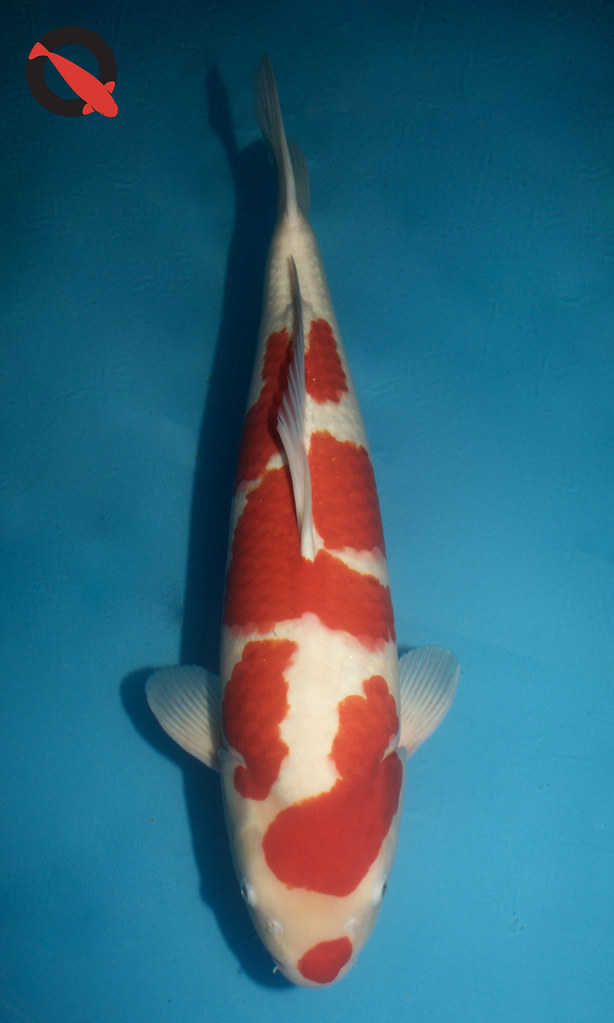 Adult Champion Elna-Koi