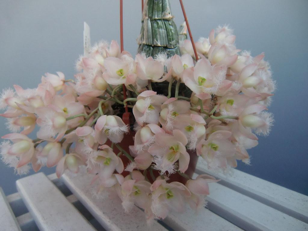 Resultado de imagem para Clowesia rosea