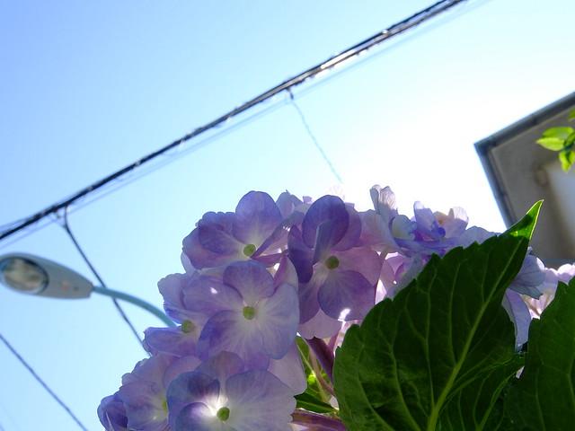 430 - wisteria2-kozo