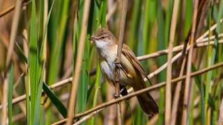 Great Reed Warbler | by Akulatraxas