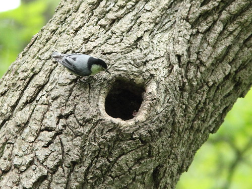 White-breasted Nuthatch at nest 2-20150519 | by Kenneth Cole Schneider