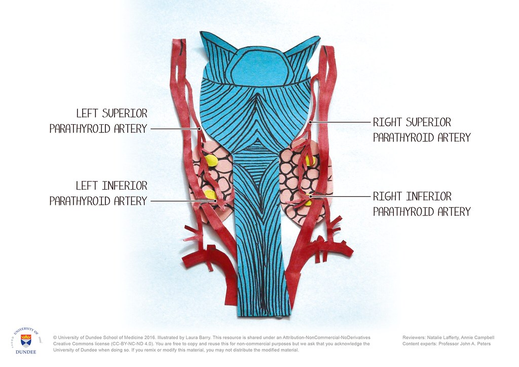 Parathyroid Vasculature By Laura Barry University Of Dunde Flickr