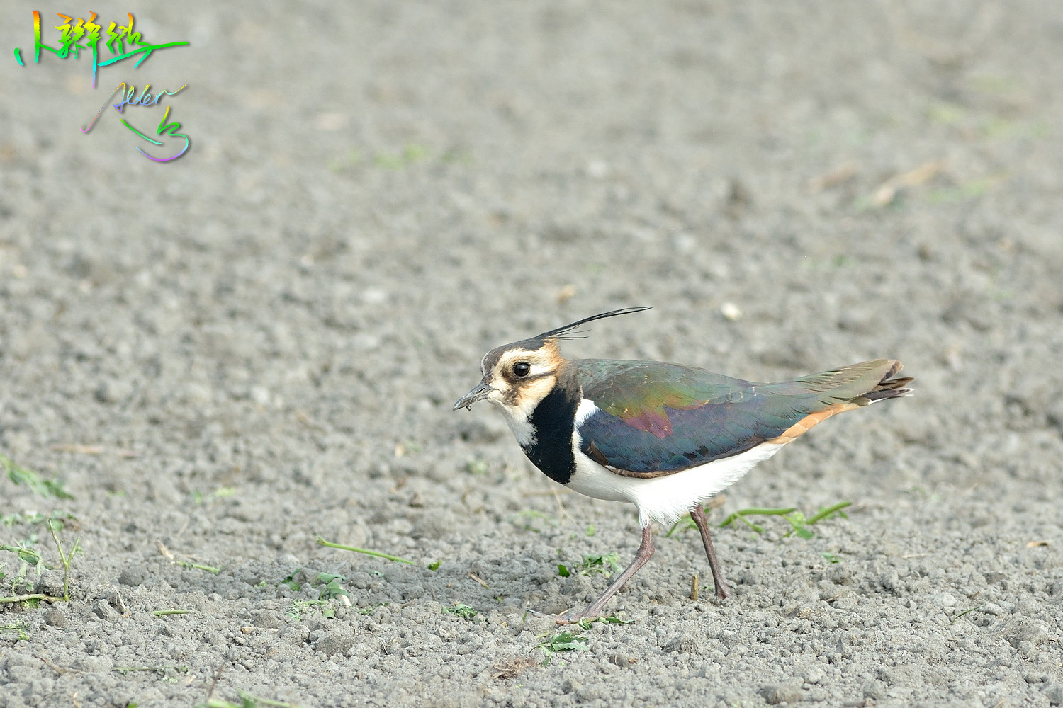 Northern_Lapwing_4799