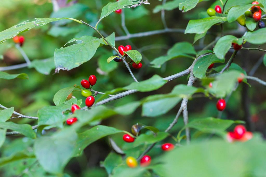 Common spicebush is a native Missouri larval food plant.
