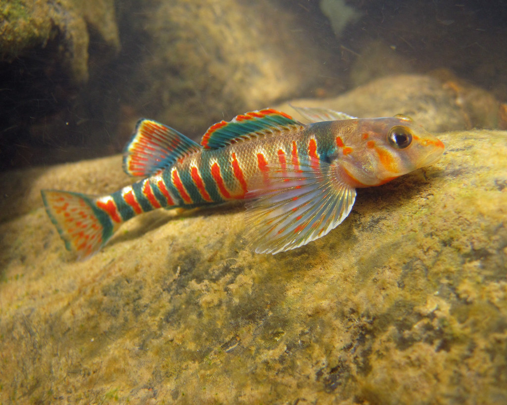 Pinewoods darter videos, photos and facts - Etheostoma mariae | Arkive