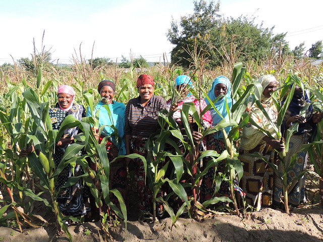 Improved maize variety (DK9089) planted on tied ridges and fertilizer application in at Kaloleni village, Kiteto. Courtesy of the Africa RISING-NAFAKA scaling project, demonstrations are being used as a key tool for the project to facilitate learning an