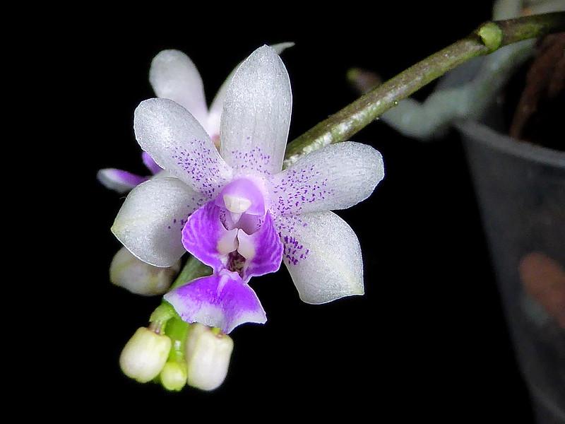 Phalaenopsis deliciosa 28566414112_fdb6bb099e_c