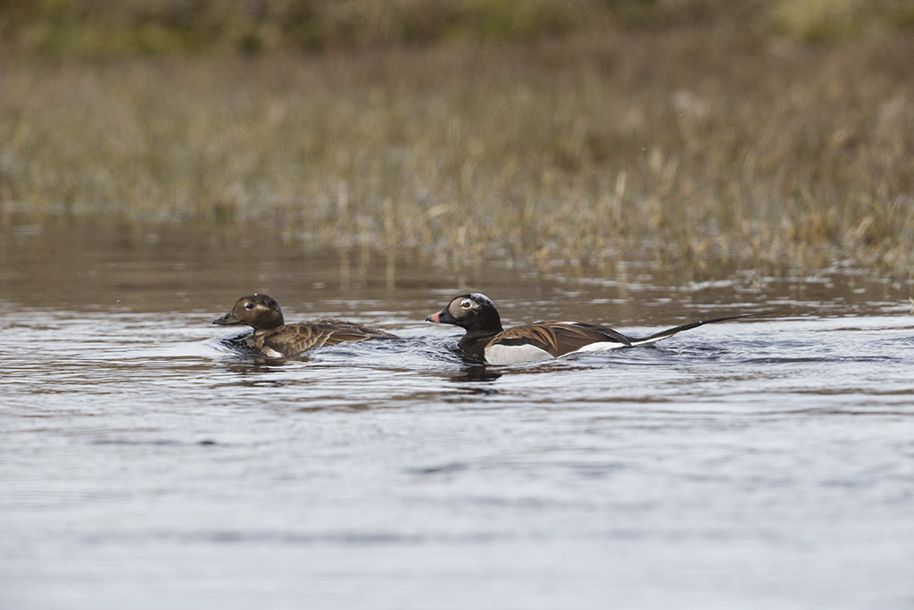 Long Tailed Duck      Iceland