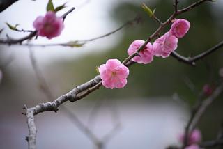 ume blossoms 10