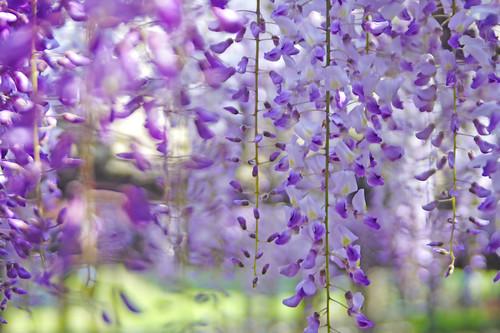 a wisteria trellis. 藤棚にて.