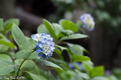 Blooming hydrangea in Hakusan Jinjya