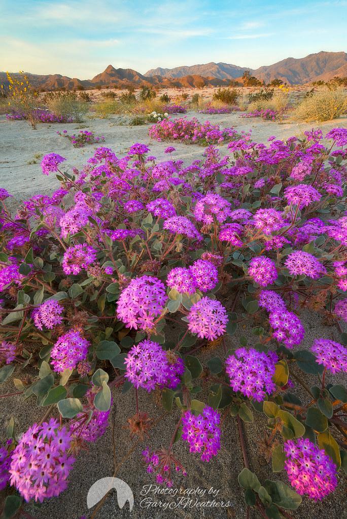 Desert flowers east sunny dunes road palm springs califo flickr desert flowers by gary j weathers mightylinksfo